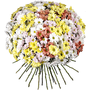 Хризантема кустовая (51 шт.)